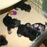 chaos in puppy pen-1.jpg